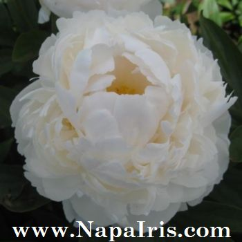 Napa country iris garden peonies now available hybrid peonies are crosses between two or more species they bring additional colors and foliage types most hybrid peonies produce one bloom per stem mightylinksfo